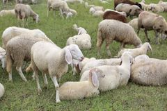 assemblez-vous avec tant de moutons blancs avec des agneaux frôlant dans le mountai Image stock