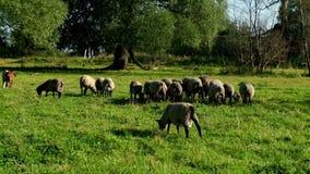 Assemblez-vous les moutons et enfoncez manger l'herbe fraîche à la ferme rurale Animal domestique au ranch banque de vidéos