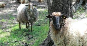 Assemblez-vous les moutons sous des arbres banque de vidéos