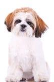 Assentado pouco filhote de cachorro do tzu do shih Imagens de Stock