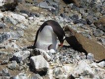 Assentamento do pinguim de Gentoo imagem de stock