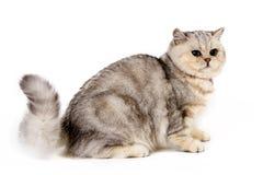 Assentamento escocês do gato em linha reta e observação imagens de stock
