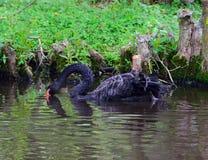 Assentamento fêmea da cisne preta Imagens de Stock Royalty Free