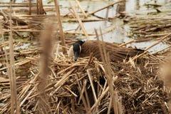 Assentamento fêmea do ganso Imagem de Stock Royalty Free