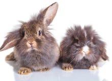 Assento adorável de dois bunnys do coelho da cabeça do leão Imagens de Stock Royalty Free