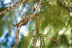 Assento ascendente próximo do colibri em seu ninho em um Chipre Imagem de Stock Royalty Free