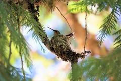 Assento ascendente próximo do colibri em seu ninho em um Chipre Fotos de Stock Royalty Free