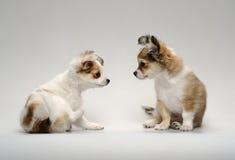 Assento bonito de dois filhotes de cachorro da chihuahua Foto de Stock Royalty Free