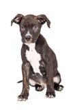 Assento bonito do cachorrinho do híbrido de Staffordshire bull terrier fotografia de stock royalty free