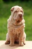 Assento bonito do sharpei do filhote de cachorro Foto de Stock