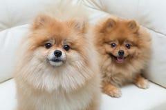Assento bonito dos animais de estimação do cão pomeranian do cachorrinho fotos de stock
