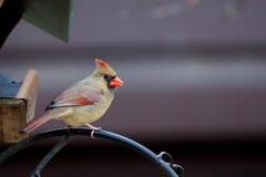 Assento cardinal do norte fêmea em um ramo Foto de Stock