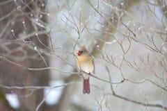 Assento cardinal fêmea na árvore desencapada Foto de Stock Royalty Free