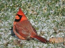 Assento cardinal masculino vermelho na terra coberta na neve Fotos de Stock Royalty Free