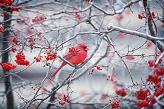 Assento cardinal vermelho em uma árvore com bagas vermelhas Fotos de Stock Royalty Free