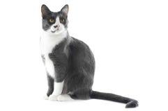Gato cinzento isolado no branco Fotos de Stock