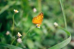 Assento da borboleta na flor selvagem branca da mola no seaso chuvoso imagens de stock
