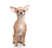 Assento da chihuahua Imagem de Stock