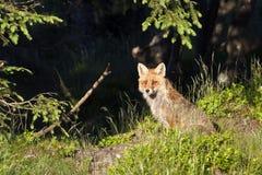 Assento da raposa vermelha na grama profunda, Vosges, França Imagem de Stock Royalty Free