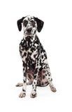 Assento Dalmatian de vista régio do cão Fotos de Stock