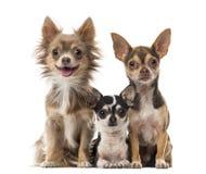 Assento das chihuahuas Imagens de Stock Royalty Free