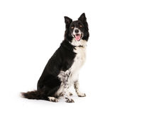 Assento de border collie Fotos de Stock Royalty Free