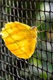 Assento de Pale Clouded Yellow Butterfly (hyale de Colias, Goldene Acht) backlit em uma cerca do elo de corrente foto de stock royalty free