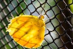 Assento de Pale Clouded Yellow Butterfly (hyale de Colias, Goldene Acht) backlit em uma cerca do elo de corrente fotos de stock royalty free