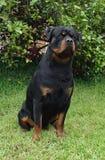 Assento de Rottweiler Imagem de Stock Royalty Free