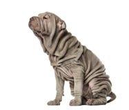 Assento de Shar Pei do cachorrinho, 10 semanas velho, isolado Imagens de Stock Royalty Free
