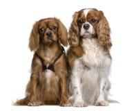 Assento descuidado de dois Spaniels de rei Charles Fotografia de Stock Royalty Free