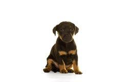 Assento do cachorrinho de Jack Russel isolado no branco Imagens de Stock
