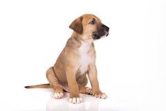 Assento do cachorrinho de Pitbull Imagens de Stock