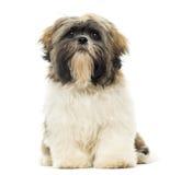 Assento do cachorrinho de Shih Tzu, enfrentar, isolado Imagens de Stock