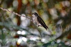 Assento do colibri Imagem de Stock Royalty Free