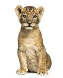 Assento do filhote de leão, olhando a câmera, 7 semanas velha, isolada Fotografia de Stock Royalty Free