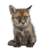 Assento do filhote do Fox (7 semanas velho) Imagens de Stock Royalty Free