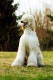 Assento do galgo afegão do cão Imagem de Stock