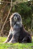 Assento do galgo afegão do cão Fotos de Stock Royalty Free