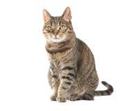 Assento do gato de gato malhado Imagens de Stock