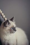 Assento do gato de Ragdoll - close-up Fotografia de Stock Royalty Free
