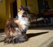 Assento do gato persa Foto de Stock Royalty Free