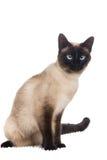 Assento do gato Siamese Foto de Stock Royalty Free