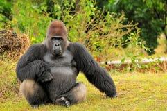 Assento do gorila da planície de Silverback fotos de stock