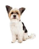 Assento do híbrido do yorkshire terrier e do ShihTzu fotos de stock royalty free