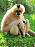 Assento do macaco & do bebê de Gibbon (Nomascus) Fotos de Stock Royalty Free