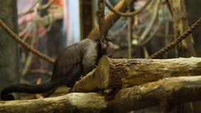 Assento do macaco no ramo e risco de seu nariz filme