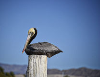 Assento do pelicano de Brown Califórnia fotos de stock