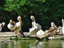 Assento do pelicano no jardim zoológico no rnberg do ¼ de NÃ fotografia de stock royalty free