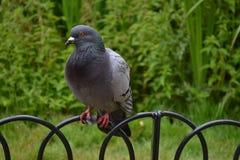 Assento do pombo na cerca Fotos de Stock Royalty Free